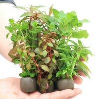 置くだけ簡単 マルチリングブラック(黒) おまかせ有茎草5種(水上葉)(無農薬)(計5個)