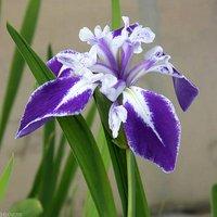 水辺植物 カキツバタ 舞孔雀(マイクジャク)紫地弁元白(1ポット)