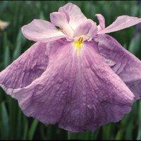 水辺植物 花菖蒲 不知火(シラヌイ)肥後系大輪紅紫白筋三英花(1ポット)
