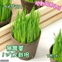 イタリアンライグラス 猫草 ネコちゃんの草 直径8cmECOポット植え(無農薬)(1ポット)