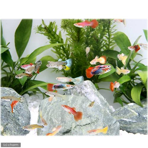 (熱帯魚)外国産ミックスグッピー(オス)(5匹)