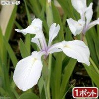 水辺植物 カキツバタ 朝霧(アサギリ)白花(1ポット) 休眠株