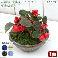 苔盆栽 大実ゴールテリア 平小鉢植え 鉢色おまかせ(1鉢)