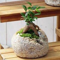 苔盆栽 ガジュマル 抗火石鉢植え Mサイズ(1鉢)