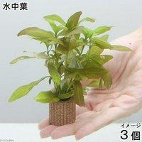 ライフマルチ(茶) ハイグロフィラ ポリスペルマ(無農薬)(3個)