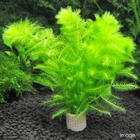 メダカ金魚藻 ライフマルチ(茶) ウトリクラリア アウレア(ノタヌキモ)(無農薬)(1個)
