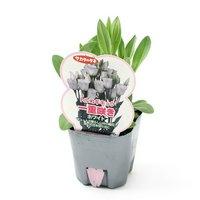 トルコギキョウ 一重咲き ホワイト 3号(3ポット)