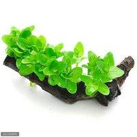 ウォーターバコパ 流木付 Sサイズ(水上葉)(無農薬)(1本)(約15cm)
