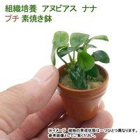 プチ素焼き鉢 組織培養 アヌビアスナナ(無農薬)(1鉢)