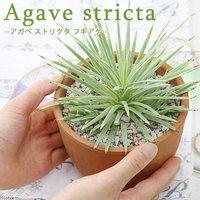 アガベ ストリクタ フキアゲ 3~3.5号(1鉢)