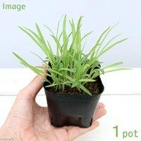 ペットリーフ キビの苗 3号(無農薬)(1ポット)黍の苗 きびの苗 猫 うさぎ 鳥 おやつ