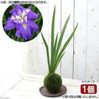 苔玉 花菖蒲(品種おまかせ)(1個) 観葉植物 コケ玉