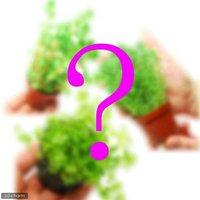 おまかせ 水上葉 鉢植えセット 3種(無農薬)(3鉢)
