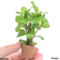 ライフマルチ(茶) ウォーターウィステリア(水上葉)(無農薬)(1個)