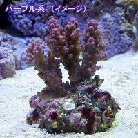 インドネシア産 浅場ミドリイシ パープル系(ブリード)(1個) 海水魚
