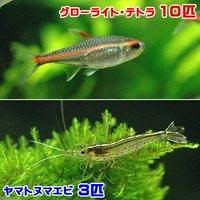 グローライトテトラ(10匹) +ヤマトヌマエビ(3匹)