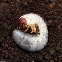 ヘラクレスパスコアリ ブラジル バイア産 幼虫(2~3令)(1匹) ヘラクレスオオカブトムシ