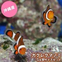 沖縄産 カクレクマノミ S&Mサイズセット(ワイルド)(1セット)