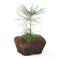 苔盆栽 品種おまかせクロマツとリュウノヒゲ 溶岩石鉢植え(1鉢)