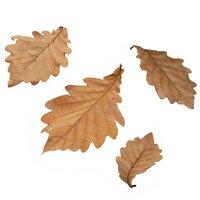 広葉樹の葉っぱ かしわ 10枚 昆虫 レイアウト用品 ザリガニ (形状お任せ)