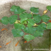 水辺植物 ヒシ(3株) 浮葉植物