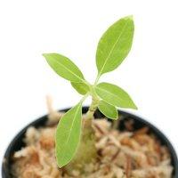 フィドノフィツム sp. オロ パロブ 実生(1鉢) アリ植物 コーデックス  北海道冬季発送不可