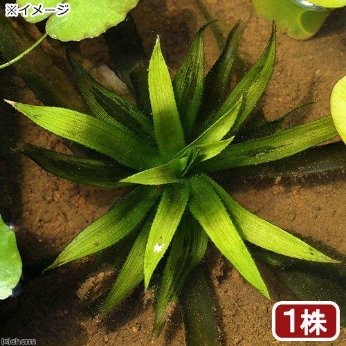 (ビオトープ)水辺植物 ストラティオテス・アロイデス(1株) 沈水〜抽水植物 (休眠株)