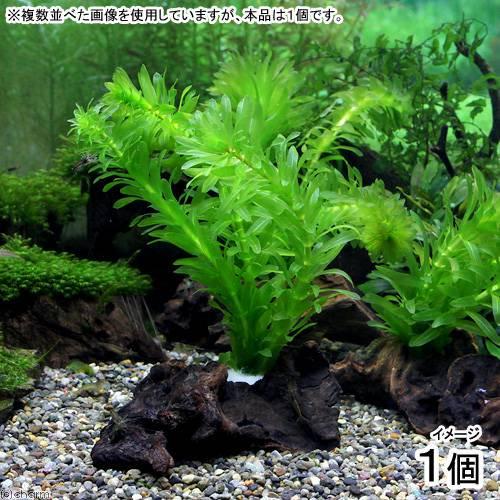 (水草)メダカ・金魚藻 アナカリス 流木付(無農薬)(1個) 北海道航空便要保温