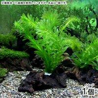メダカ金魚藻 国産 アナカリス 流木付(無農薬)(1個)