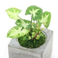おまかせ観葉2種ミックス 陶器鉢植え クールポットS(1鉢)