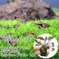 (水草)ラスボラヘテロモルファ(6匹)+マルチリングブラック(黒)クリプトウェンティーブラウン(1個)