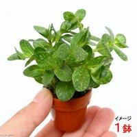 プチ素焼き鉢 ロタラ ロトンディフォリア ベトナム産(水上葉)(無農薬)(1鉢)