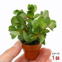 プチ素焼き鉢 ロタラ ロトンディフォリア(水上葉)(無農薬)(1鉢)