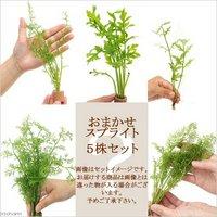 品種おまかせスプライト(水上葉)(無農薬)(5株)