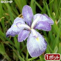 水辺植物 花菖蒲 青柳(アオヤナギ)伊勢系垂咲三英花薄紫(1ポット)