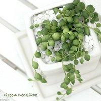 グリーンネックレス 陶器鉢植え ニューダイスS WH(1鉢) 受け皿付き