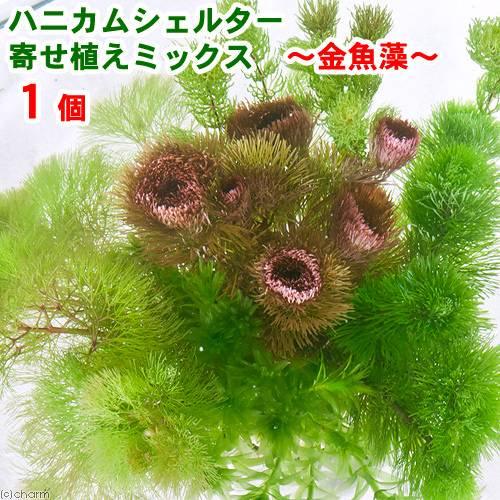 (水草)ハニカムシェルター 寄せ植えミックス〜メダカ・金魚藻〜(1個)