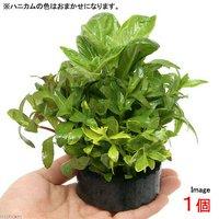 ハニカムシェルター 寄せ植えミックス Ver.リムノフィラ(水上葉)(無農薬)(1個)