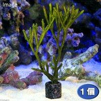 海藻 種類おまかせミル ライフマルチブラック付き(1個)