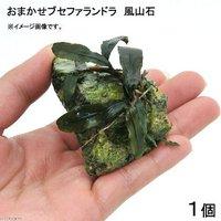 おまかせブセファランドラ付き 風山石SSサイズ(水中葉)(無農薬)(1個)