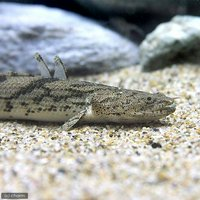 ポリプテルスエンドリケリーエンドリケリー ナイジェリア 16~20cm(ワイルド)(1匹)