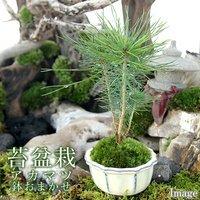 苔盆栽 アカマツ おまかせ色小鉢(1鉢)