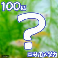 生餌 エサ用メダカ/えさ用めだか(100匹)