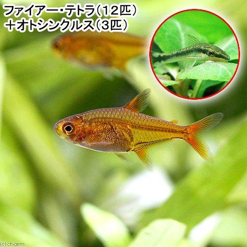 (熱帯魚)ファイアー・テトラ(12匹)+オトシンクルス(3匹) 北海道・九州航空便要保温