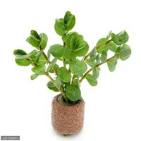 ライフマルチ(茶) ロタラ ロトンディフォリア(水上葉)(無農薬)(2個)
