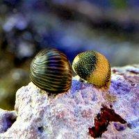 貝 海洋性カノコガイ Sサイズ コケの掃除(1匹)
