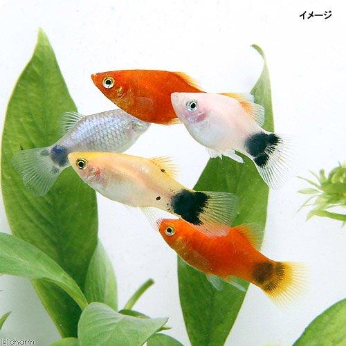 (熱帯魚)ミックスプラティ(1ペア) 北海道・九州航空便要保温