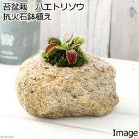 苔盆栽 ハエトリソウ 抗火石鉢植え(1鉢)
