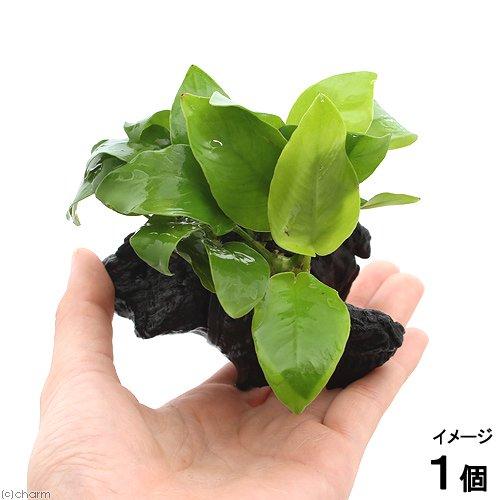 (水草)アヌビアスナナ ゴールデン 流木付 SSサイズ(1本)(約10cm)