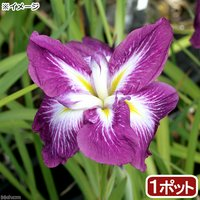 水辺植物 花菖蒲 登竜門(トウリュウモン)肥後系濃紅紫六英花(1ポット)